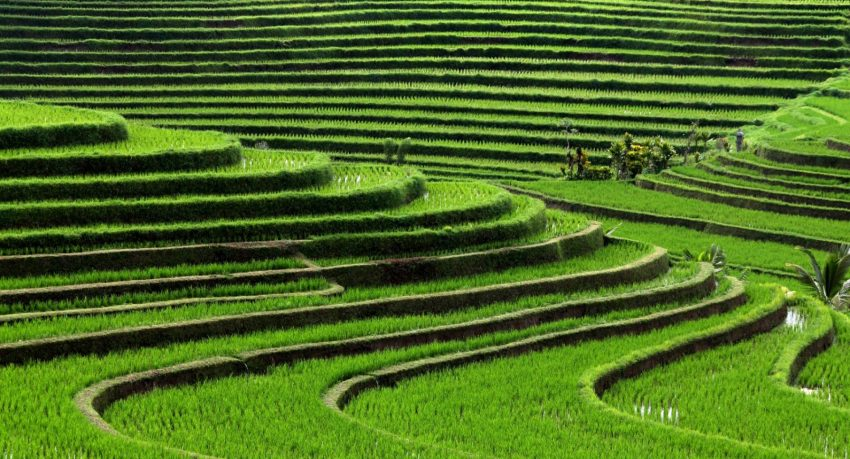 Culture du riz : les rizières en terrasse