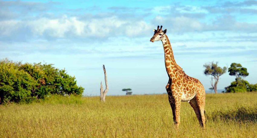 Girafe au Kenya safari